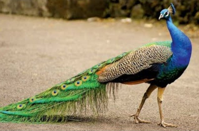 burung-cantik