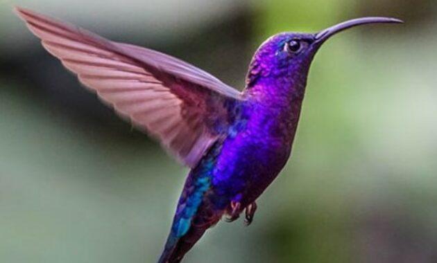 burung-kolibri