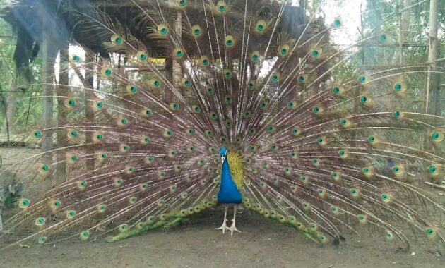 burung-merak