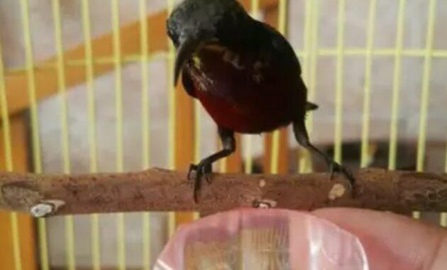 cara-memilih-burung-kolibri