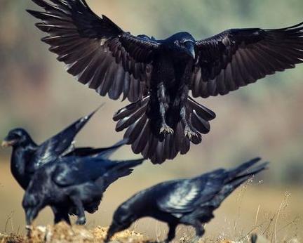 solideritas-burung-gagak