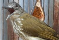 cara-merawat-burung-siri-siri