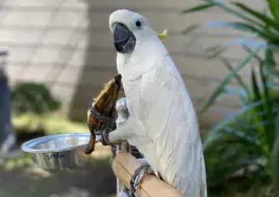suara-burung-Kakak-Tua-di-alam-liar