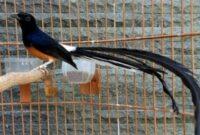 burung-bagus-untuk-dipelihara