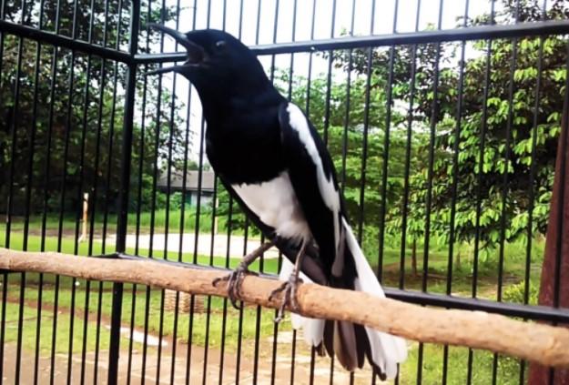burung-yang-mudah-dipelihara