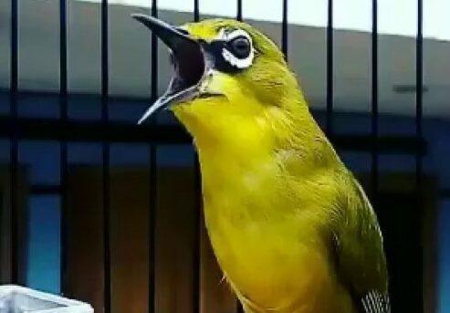 harga-burung-murah