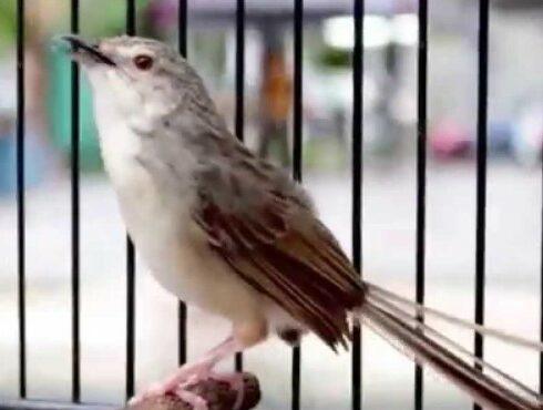 jenis-burung-yang-rajin-bunyi