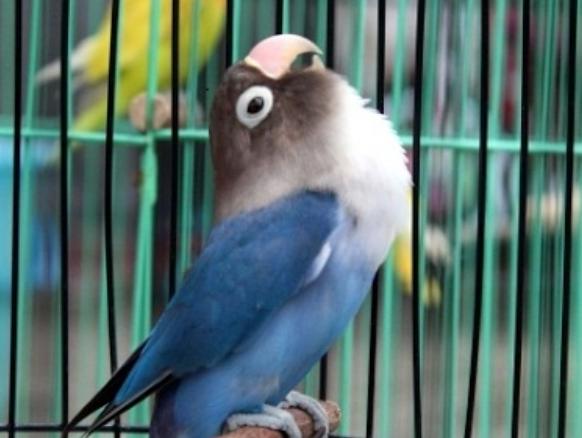 burung-kicau-paling-berisik
