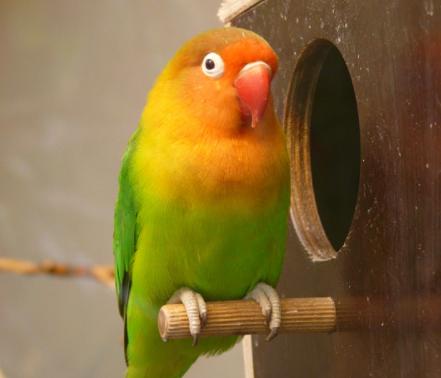 burung-peliharaan-murah