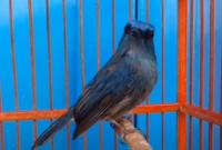 burung-selendang-biru