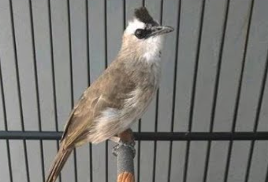 kelebihan-burung-trucukan