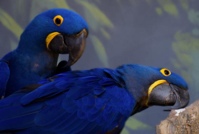 Gambar-Burung-Hyacinth-Macaw