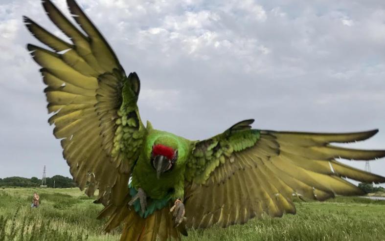 Gambar-Burung-Military-Macaw