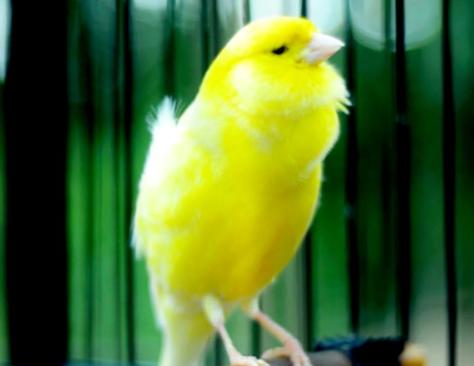 burung-kecil-suara-merdu-pemakan-buah