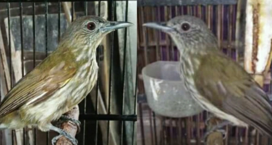 gambar-burung-siri-siri