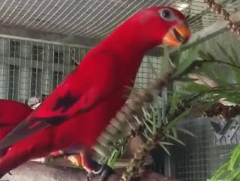 harga-burung-nuri-red-lory-maluku