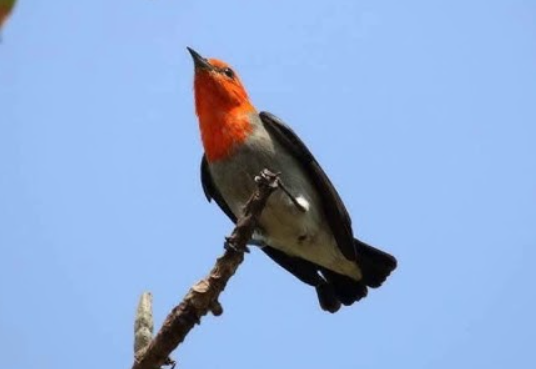 jenis-burung-kecil-dengan-suara-merdu