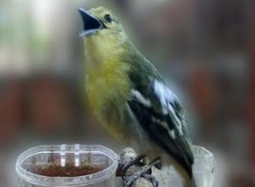jenis-burung-kecil-suara-merdu