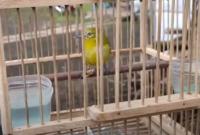 cara-merawat-burung-sirtu
