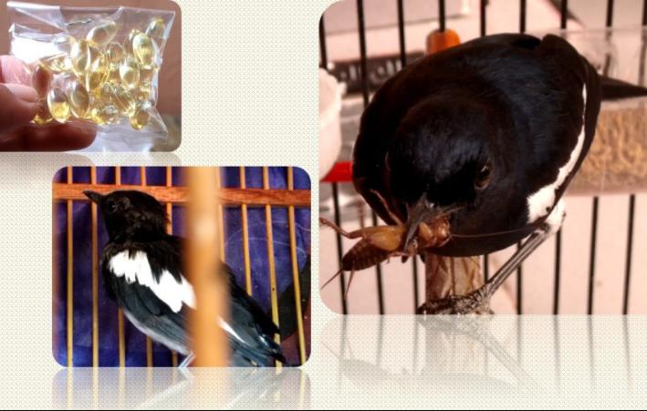 cara-pemberian-minyak-ikan-pada-burung