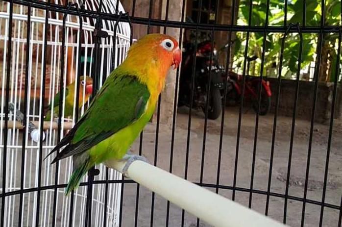 ciri-fisik-lovebird-bakal-ngekek-panjang