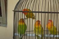 ciri-fisik-lovebird-ngekek-panjang