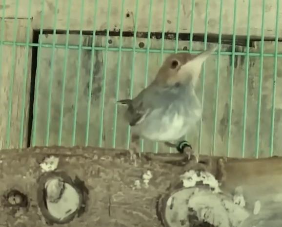 makanan-burung-prenjak