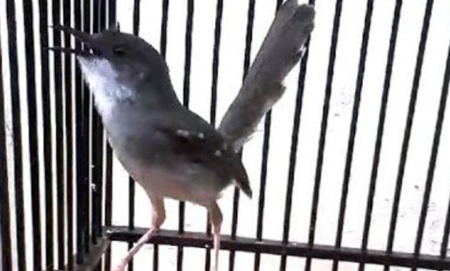 burung-fighter-kecil