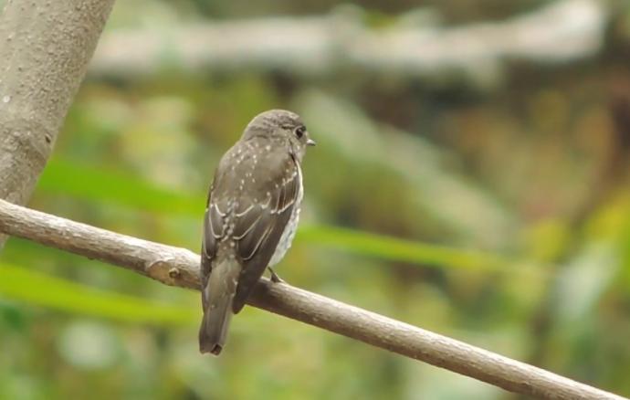 burung-flycatcher