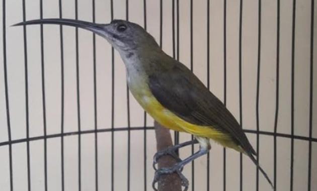 burung-kecil-suara-keras-dan-merdu