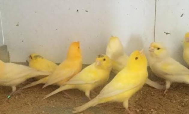 jenis-burung-kenari-loper