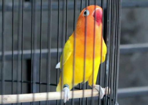 jenis burung yang gampang berkicau