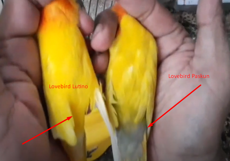 ciri-lovebird-pastel