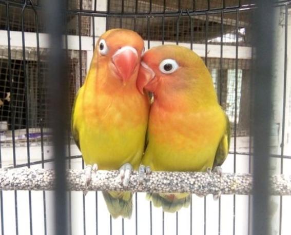 jamu-tradisional-untuk-lovebird