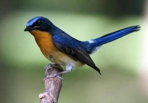 jenis-burung-fighter-kecil