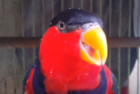 jenis-makanan-burung-nuri-berbahaya