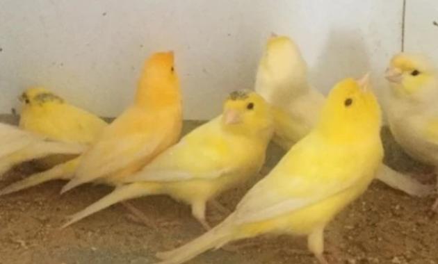 kenari-lokal-kuning