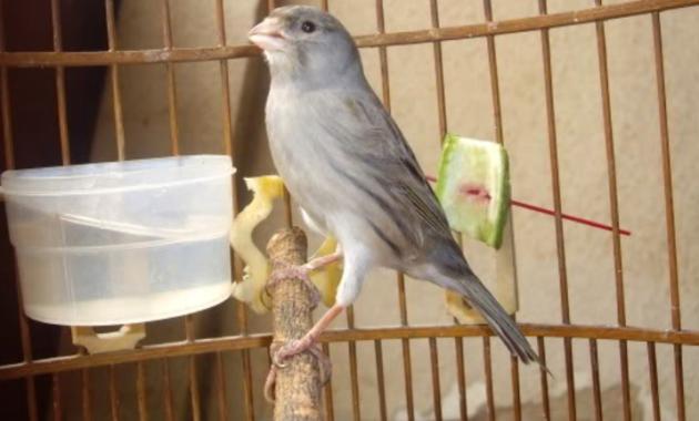 kenari-starblue