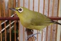 cara perawatan burung pleci mabung