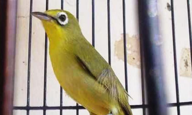 pleci-kecial-lombok