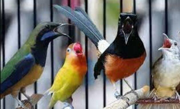 burung-kecil-masteran-murai-batu