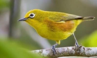 burung-kecil-suara-mirip-kacer