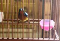 cara-merawat-burung-kolibri-wulung
