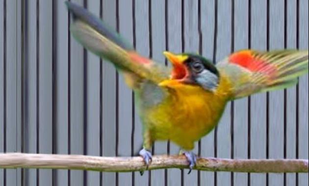 pakan-burung-pancawarna