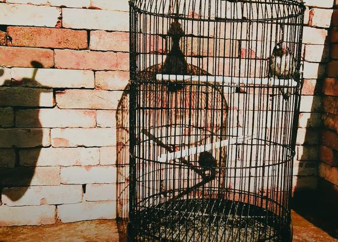 settingan-harian-lovebird-tipe-basah