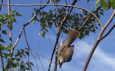 cara-membuat-jebakan-burung-dipohon