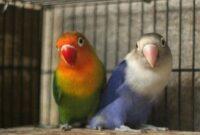 cara-mengetahui-umur-lovebird