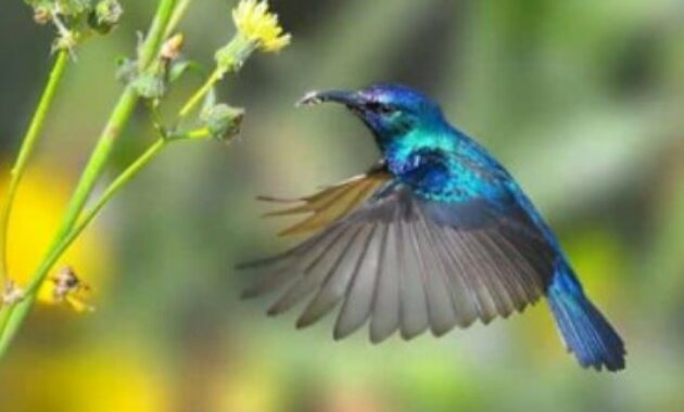 harga-burung-kolibri-wulung-bahan