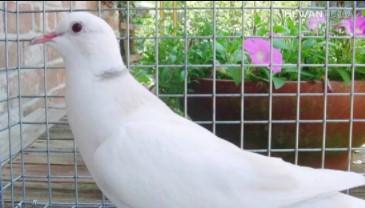 harga-burung-puter-putih-kalung