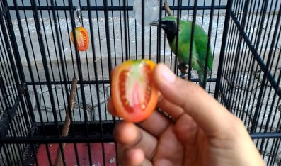manfaat-buah-buahan-untuk-cucak-ijo